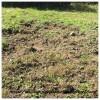 イノシシの集団の足跡と栗