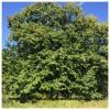 栗の季節はイノシシの季節
