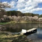 長坂町白井沢みどり湖の桜が満開です♫