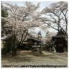 鎧観音堂の桜がたぶん今日満開