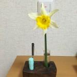 いっぴん工房の印鑑スタンドに水仙を飾る