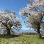 満開の桜から見た南アルプスが絶景の141号線セブンイレブン高根箕輪店