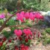 放ったらかしのホタルブクロ?と桜草がまた咲いた
