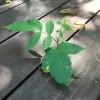 ウッドデッキの隙間から生えてくる草を育ててるの?