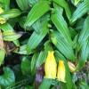キイジョウロウホトトギスがいっぱい咲いた!