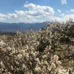 南アルプス市の梅畑から望む富士山
