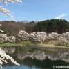 再び朝のみどり湖の満開の桜