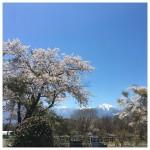 桜と南アルプス見ながら散歩