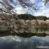 みどり湖の桜が満開