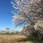 北の杜カントリークラブへ行く途中にある桜並木が満開