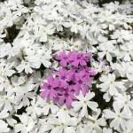 迷子の芝桜さん