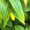 キイジョウロウホトトギスの開花が去年より遅い