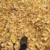 山梨大学工学部A-2号館横の銀杏並木