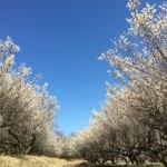 動画 いい匂いの梅の花の並木道をお散歩