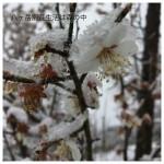 せっかく咲いた梅の花に雪が