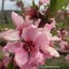 桃の花とはねだし桃
