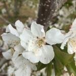 サクランボの花