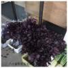 梅干し作りに使う赤紫蘇