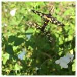 蝶の交尾?
