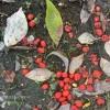 ハナミズキの果実