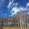 八峰の湯駐車場前の白樺林