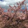 風にそよぐ河津桜