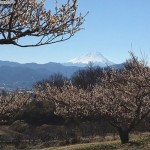 梅の木の向こうの富士山に雪が増えた
