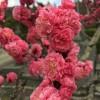 花桃咲いてた