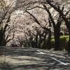 伊豆高原桜並木通りと桜のトンネル通り