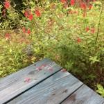 チェリーセージの落ちた花びらが可愛い過ぎて