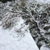 雪に潰されたチェリーセージが