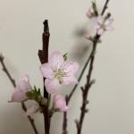 桃の蕾いっぱい開いた
