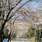 伊豆高原桜並木通りの桜