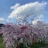 美しすぎる桃の畑