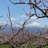 桃畑の向こうの富士山