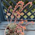 多肉植物エケベリアの花が満開