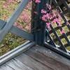 秋明菊シュウメイギクが真っ盛り