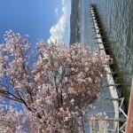 昨日(四月7日)の諏訪湖の桜とヘルニア