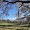 蕪の桜並木
