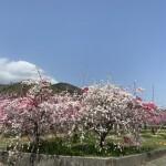 美しすぎる畑 花桃と桃の花